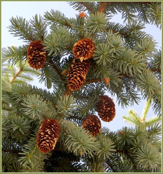 Blue Spruce (I think)