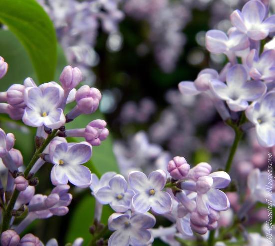 LilacsinFortCollins